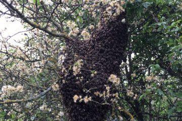 Bienenschwarm im Schulgarten